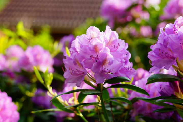 A photo of an outdoor Rhododendron color pink.